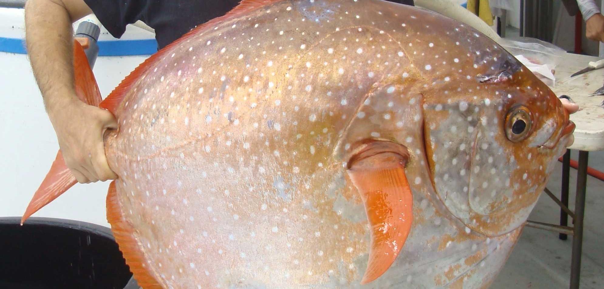 سمكة (الأوباه) تنضم إلى قائمة الحيوانات ذوات الدم الحار