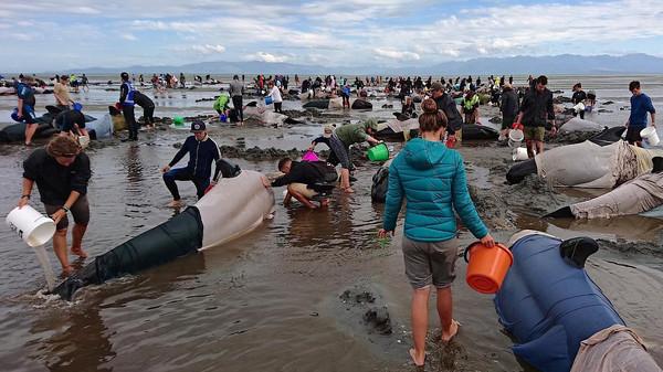 انتحار مئات الحيتان على شواطئ نيوزيلندا