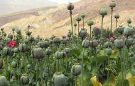 العثور على كميات من نبات الخشخاش بأرض فضاء خلف مبنى النجدة في طبرق